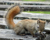 Een rode eekhoorn bij banff nationaal park Stock Afbeeldingen