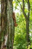 Een rode eekhoorn op een boom in het bos eet een noot, bovenkant - neer verticaal royalty-vrije stock foto