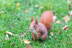 Een rode eekhoorn op gras Gefotografeerd in gevangenschap Stock Fotografie