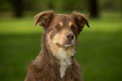 Een Rode en bruine hond Royalty-vrije Stock Afbeeldingen