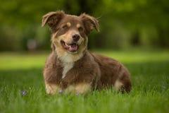 Een Rode en bruine hond Stock Afbeelding