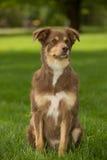 Een Rode en bruine hond Stock Foto's