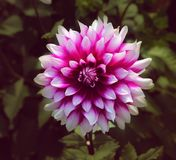 Een rode en witte bloem Royalty-vrije Stock Fotografie