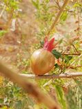 Een rode granaatappel stock afbeelding