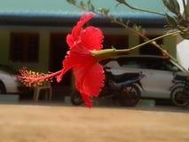 Een rode hibiscus Stock Foto