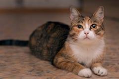Een rode kat in zwarte stroken ligt op de vloer en squintes stock afbeelding