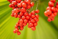 Een rode palm, DwergDadelpalm Stock Foto