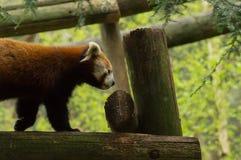 Een rode Panda Stock Afbeeldingen