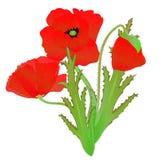 Een rode papaver Stock Afbeelding