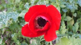 Een rode Papaverbloem stock foto's