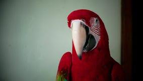 Een rode papegaai stock footage