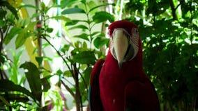 Een rode papegaai stock video