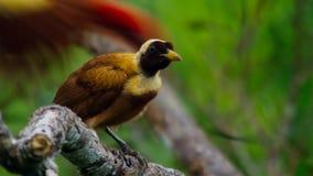 Een rode paradijsvogel vertoning in treetops Het wijfje zal selecteren welk mannetje haar luim neemt stock foto