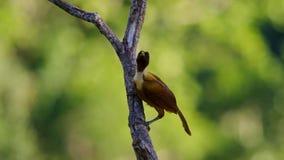 Een rode paradijsvogel vertoning in treetops Het wijfje zal selecteren welk mannetje haar luim neemt stock fotografie
