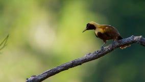 Een rode paradijsvogel vertoning in treetops Het wijfje zal selecteren welk mannetje haar luim neemt royalty-vrije stock fotografie