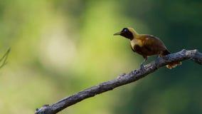 Een rode paradijsvogel vertoning in treetops Het wijfje zal selecteren welk mannetje haar luim neemt royalty-vrije stock foto's