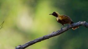 Een rode paradijsvogel vertoning in treetops Het wijfje zal selecteren welk mannetje haar luim neemt stock afbeelding