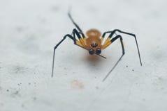 Een rode spin Stock Foto