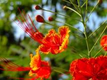 Een rode tropische bloem Stock Foto's