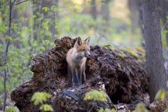 Een Rode vosuitrusting Vulpes die vulpes bovenop een bemost logboek zich diep in het bos in de vroege lente in Canada bevinden royalty-vrije stock afbeeldingen