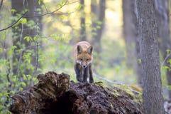 Een Rode vosuitrusting Vulpes die vulpes bovenop een bemost logboek zich diep in het bos in de vroege lente in Canada bevinden stock foto