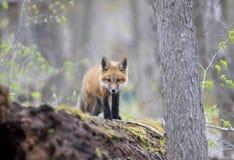 Een Rode vosuitrusting Vulpes die vulpes bovenop een bemost logboek zich diep in het bos in de vroege lente in Canada bevinden stock afbeeldingen