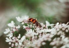 Een rode zwarte gestreepte pluizige kever zit op een witte bloem op een groene vage achtergrond Trichodes of bijenkever royalty-vrije stock afbeelding