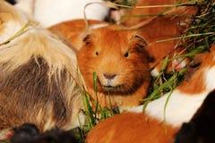 Een roestig proefkonijn die in gras met andere kerels liggen Hij let op sommige vrienden Leider van guneavarkens stock foto's