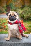 Een romantische pug hond in een rode geruite sjaal zit op de achtergrond van het park van de de herfststad royalty-vrije stock afbeelding