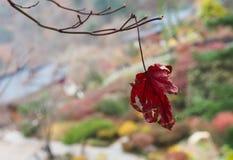 Een rood blad dat met achtergrondonduidelijk beeld vernietigt Royalty-vrije Stock Foto