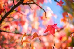 Een rood blad tijdens het seizoen van de de herfstdaling in van Zuid- onderstel torenhoog botanisch tuinen Australië op 16 April  royalty-vrije stock afbeelding