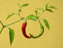 Een rood en het groene Spaanse peper groeien op de zelfde stam. Stock Afbeeldingen