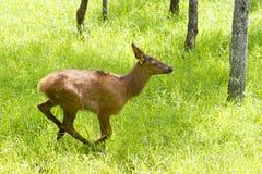 Een Rood hert die een gebied van herten doornemen tikt in de zomer in Canada royalty-vrije stock afbeeldingen