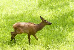 Een Rood hert die een gebied van herten doornemen tikt in de zomer in Canada stock foto
