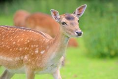 Een rood hert op een weide royalty-vrije stock foto