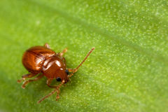 Een rood insect op het blad Royalty-vrije Stock Afbeelding