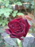 Een rood nam in de tuin toe royalty-vrije stock fotografie