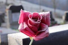 Een rood nam, Rosa toe, is laatste geheugen voor het losting van de één of ander mens of lid van familie Nam is een mooie gift to royalty-vrije stock afbeelding