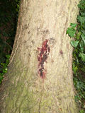 Een rood sapteken vloeit op zijschors van boom weg Stock Foto's