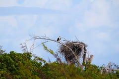 Een roofvogel in het nest in een Caraïbisch eiland, de Bahamas stock foto