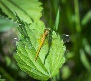Een roofzuchtige insectlibel zit op het gras Sluit omhoog Royalty-vrije Stock Foto's