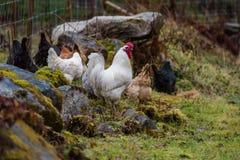 Een rooster met verscheidene kippen die voedsel zoeken Royalty-vrije Stock Afbeeldingen
