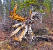 Een rottende boomstomp op de yukongebieden in de lente Royalty-vrije Stock Fotografie
