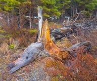Een rottende boomstomp op de yukongebieden in de lente Stock Afbeelding