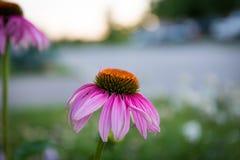 Een roze Bloem Royalty-vrije Stock Afbeelding
