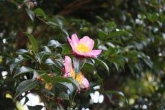 Een roze bloem in de tuin stock afbeeldingen