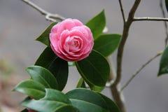 Een roze bloem groeit op een gebied (Japan) Stock Afbeeldingen