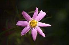 Een roze bloem in het ochtendlicht Stock Foto's