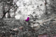 Een roze bloem op grayscale vertroebelde achtergrond stock afbeeldingen