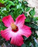 Een roze bloem tegen groene bladeren op een gang door een tuin Royalty-vrije Stock Afbeeldingen